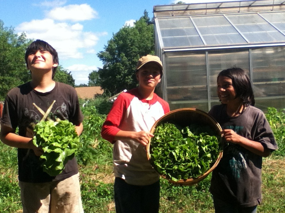 Beautifully grown and perfectly harvest head lettuce from the Cherokee garden.